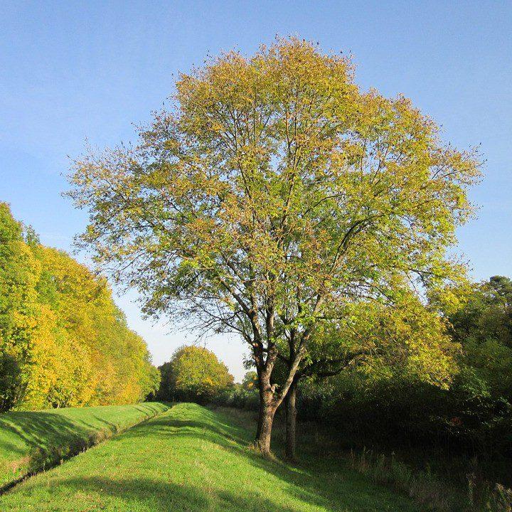 frène arbre de vie viking yggdrasil