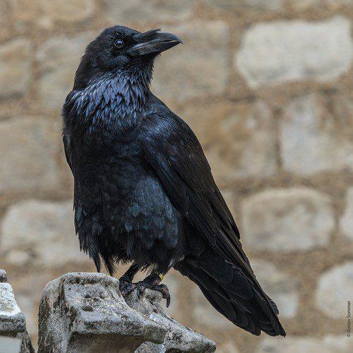 symbolisme du corbeau