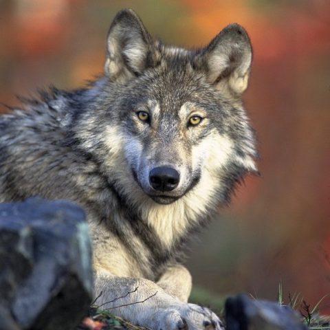 symbolique du loup