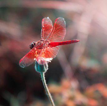 la libellule - signification