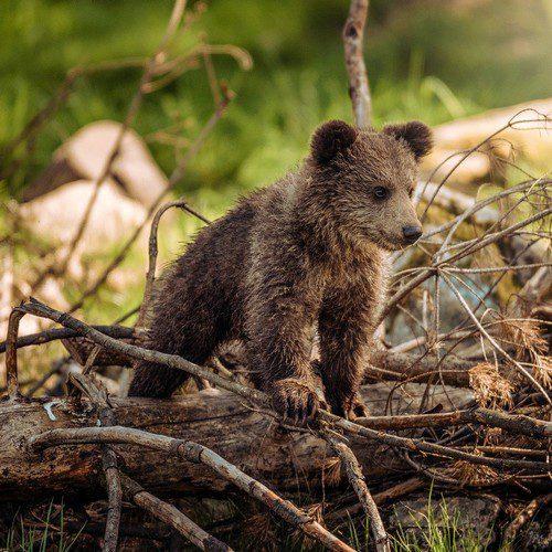 symbolique de l'ours