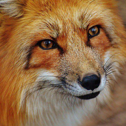 symbolique du renard